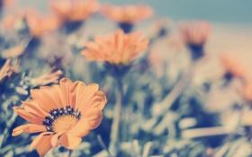 Картинка цветы, лепестки, оранжевые