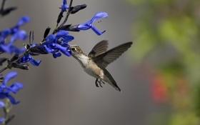 Обои цветы, нектар, птица, колибри, синие