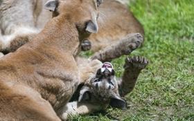 Обои трава, игра, лапа, детёныш, котёнок, пума, горный лев