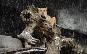 Обои морда, хищник, лев, бревно, львица, дикая кошка, снегопад