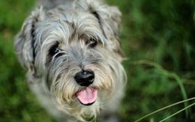 Картинка язык, друг, собака, пёс