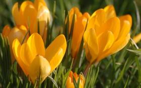 Обои макро, цветы, оранжевый, весна, бутоны, первоцвет, Крокусы