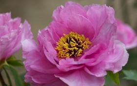 Обои розовые, пионы, куст, цветы