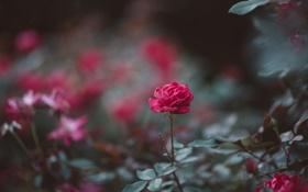 Обои роза, цветок, лепестки, куст