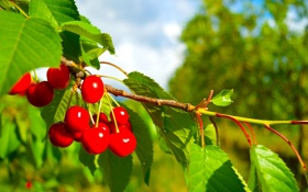 Обои листья, черешня, ветка, ягоды, дерево