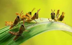 Обои насекомые, лист, Кузнечики
