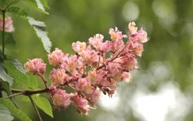 Обои макро, розовый, соцветие, Каштан