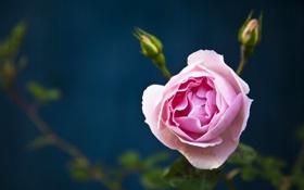 Обои макро, роза, бутоны