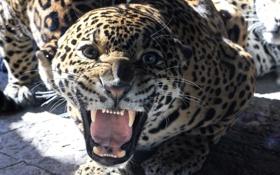 Обои хищник, пасть, ягуар