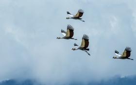 Обои birds, Cranes, Africa