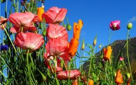 Картинка поле, небо, пейзаж, цветы, горы, маки, луг