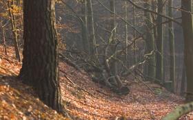 Обои лес, осень, деревья, поваленные