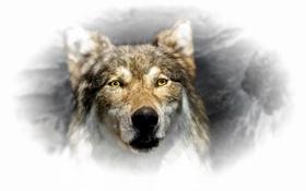 Картинка взгляд, волк, зверь