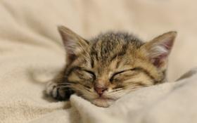 Картинка кошка, котенок, сон, мордочка, спит