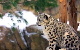 Картинка профиль, Снежный барс, ирбис, котёнок