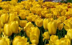 Картинка желтые, бутоны, тюльпаны, много