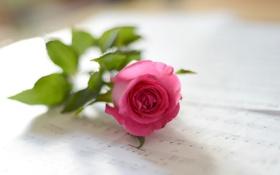 Обои цветок, ноты, розовая роза