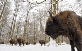 Обои снег, стадо, территория национального парка Польши, Białowieski Park Narodowy (Bialowieza National Park, Зубры, Беловежская пуща, ...