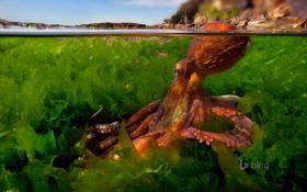 Обои вода, водоросли, осьминог, щупальца, Средиземное море