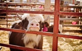 Обои фон, корова, Michelle