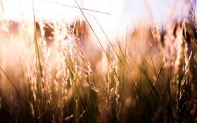 Обои трава, солнце, колоски, обои, растения, природа, свет