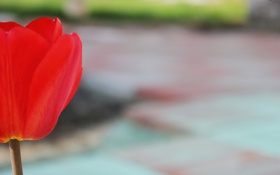 Картинка цветок, лепестки, тюльпан, красный