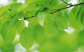 Обои капли, зеленые, green, зелень, листья, природа, ветка