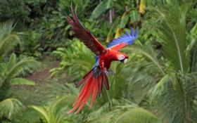 Обои птица, крылья, попугай, яркий, полет