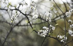 Обои весна, ветки, вишня, цветение, лепестки, белые, деревья