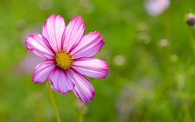 Обои цветок, лето, природа