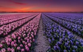 Обои закат, Голандия, поле, вечер, плантация, цветы
