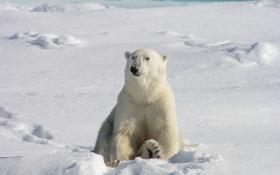 Обои иней, белый, снег, лапа, шерсть, медведь, когти