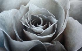 Картинка масло, живопись, холст, art, белая роза, Jonas Brodin