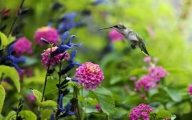 Обои цветы, птицы, природа, нектар, птица, растения, колибри