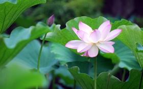 Обои лотос, кувшинка, water, blossom, lotus, button, petals