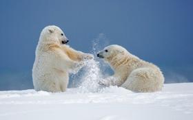 Обои зима, снег, игры, медведи, Аляска, медвежата, белые медведи