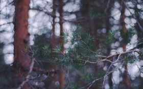 Обои лес, иголки, ветки
