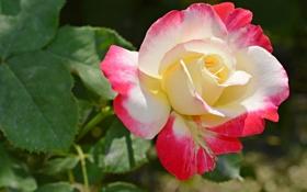 Обои роза, листья, лепестки, природа