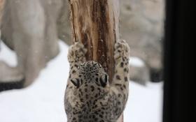 Обои поза, хищник, лапы, пятна, мех, ирбис, снежный барс