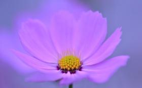 Обои природа, цветок, лепестки, космея