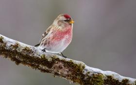Обои птица, мох, снег, розовая, ветка