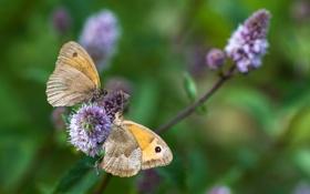Обои бабочки, зелень, насекомые, цветы