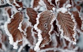 Обои холод, иней, листья, природа, сухие