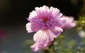 Обои розовый, цветок, махровая, космея