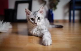 Обои кошка, глаза, настроение, лапки, шерсть, Кот, мордашка