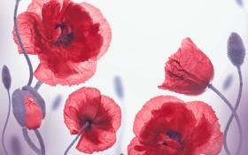 Картинка цветы, маки, бутоны, цветение, flowers, полевые цветы, poppies