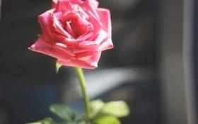 Картинка роза, лепестки, розовые