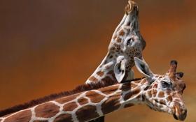 Обои пара, жирафы, головы, шеи