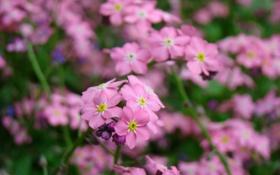 Картинка макро, цветы, розовый, растение, весна, лепестки, лиловый