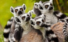 Картинка лемуры, семейство, приматы